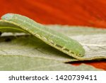 A green speckled sawfly larva.  ...