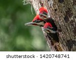 A Pileated Woodpecker Nest In...