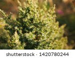 fir branches. winter nature....   Shutterstock . vector #1420780244