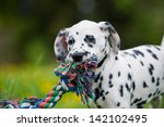 Dalmatian Puppy With Toy