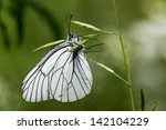 Black Veined White Butterfly