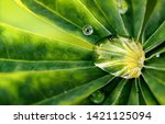 large raindrop on a leaf of... | Shutterstock . vector #1421125094
