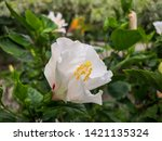 beautiful colorful hibiscus... | Shutterstock . vector #1421135324