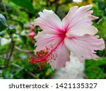 beautiful colorful hibiscus... | Shutterstock . vector #1421135327