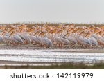 white pelicans in the danube... | Shutterstock . vector #142119979