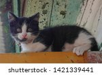 Stock photo  little black and white kitten in the village 1421339441