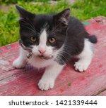 Stock photo  little black and white kitten in the village 1421339444