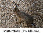 Stock photo brown hare in countryside hop 1421383061