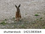 Stock photo brown hare in countryside hop 1421383064