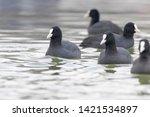 Swimming Coots  Fulica Atra ...