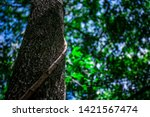 the liana that binds trees in... | Shutterstock . vector #1421567474