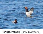 Common Pochard Ducks Swimming...