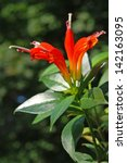 Small photo of Basket plant (aeschynanthus speciosus)