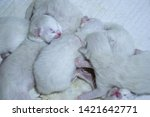 Stock photo bunch of adorable tiny white newborn ragdoll kittens sleeping on each other happy and full kitties 1421642771