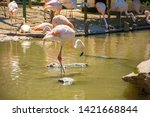 greater flamingo ... | Shutterstock . vector #1421668844