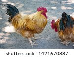 cock on the farm in zoo | Shutterstock . vector #1421670887