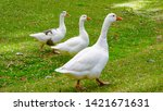Three Ducks Walking In Diagona...