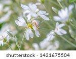 Misumena Vatia Is A Species Of...