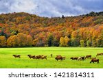 cows grazing on a farmland on a ...