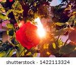Red Roses Garden Back Light...