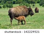 Buffalo Cow Nursing Her Calf On ...