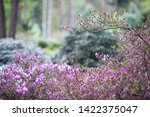 pink flowers of rhododendron...   Shutterstock . vector #1422375047