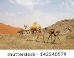 camel and baby  calf  wondering ... | Shutterstock . vector #142240579