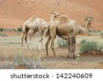 group of camels and their baby... | Shutterstock . vector #142240609