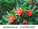 Red Pomegranate Flowers Close Up