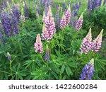 flowering blue lupine field in... | Shutterstock . vector #1422600284