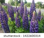 flowering blue lupine field in... | Shutterstock . vector #1422600314
