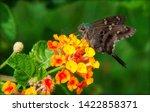 Long Tailed Skipper Moth On...