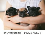 Stock photo three beautiful french bulldog puppies sitting on the hands of a girl puppies are looking towards 1422876677