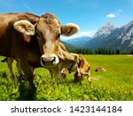 Brown Cow Grazing On Meadow In...