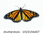 Stock photo top view of a living female monarch butterfly the wings are open and it has recently emerged from 1423156607