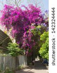 Large, blooming tree outside of Israel, the city of Petah Tikva
