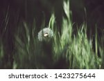 dandelion white flower growing... | Shutterstock . vector #1423275644