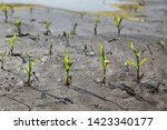 Young Green Damaged Corn Plants ...