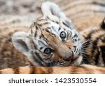 Amur Tiger Cub Looking Very...