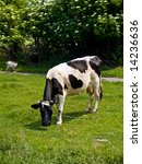 black and white spotted cow on...   Shutterstock . vector #14236636