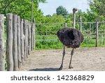 Ostrich male - stock photo