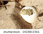 Stock photo africa spurred tortoise are born naturally tortoise hatching from egg cute portrait of baby 1423811561