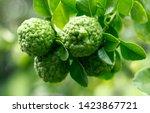 Kaffir Lime Fruit Grown On Tree.