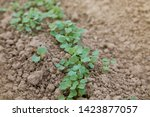 Small photo of Shoots of arugula grass (Eruca vesicaria, Eruca sativa) outdoors. Young Eruca sativa, rucola seedlings. Young fresh green arugula sprouts (Eruca vesicaria), on the soil background. Agriculture plantin