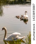 Swan Family In A Lake