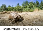 Stock photo mediterranean land tortoise walks tortoises and turtles are both reptiles the defining difference 1424108477