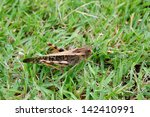 A Brown Grasshopper On Grass