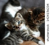 Stock photo three kittens tabby kittens playing square format photo 1424156234