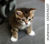 Stock photo brown tabby kitten cute tabby week old kitten square format 1424156237