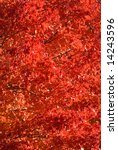 Small photo of Red Maple tree fall foliage, New Jersey. Acer rubrum